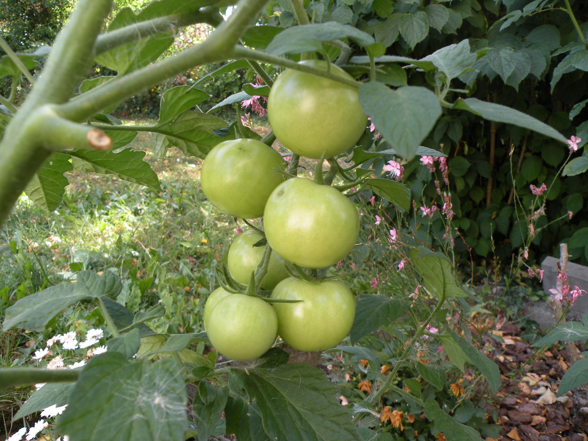 gourmands des tomates cerises